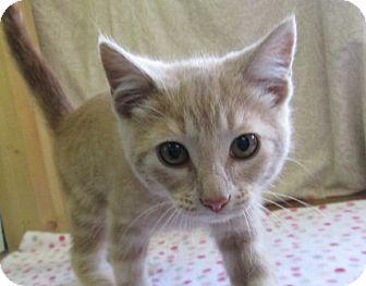 Domestic Shorthair Kitten for adoption in Lloydminster, Alberta - Mr. Orange