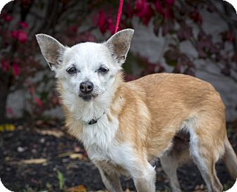 Chihuahua Mix Dog for adoption in Mentor, Ohio - Lily B