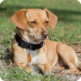 Dachshund/Chihuahua Mix Dog for adoption in Weeki Wachee, Florida - Nutmeg