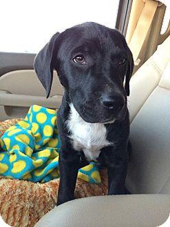 Labrador Retriever/Pit Bull Terrier Mix Puppy for adoption in Middletown, Delaware - Devlin