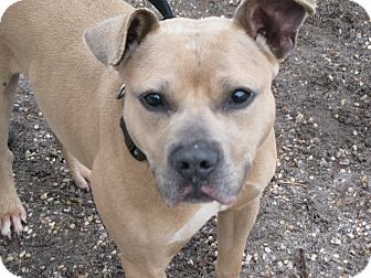 Pit Bull Terrier Mix Dog for adoption in Voorhees, New Jersey - Tanner