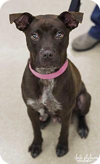 Labrador Retriever/Pit Bull Terrier Mix Dog for adoption in Charlotte, North Carolina - Duchess (Royalty Litter Momma