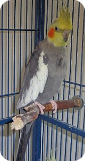 Cockatiel for adoption in Grandview, Missouri - Jack