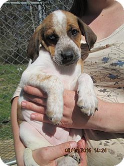 Catahoula Leopard Dog/Foxhound Mix Puppy for adoption in Brookside, New Jersey - Bianca