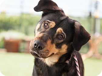 Rottweiler/Husky Mix Dog for adoption in Dallas, Texas - Boomer