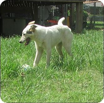 Cattle Dog/Shepherd (Unknown Type) Mix Puppy for adoption in Somers, Connecticut - Bonzo
