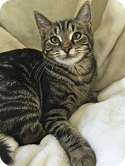 Domestic Shorthair Cat for adoption in South Haven, Michigan - Vanilla