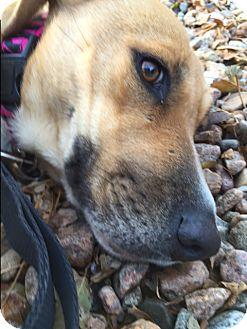 Labrador Retriever Mix Dog for adoption in Littleton, Colorado - DORA2