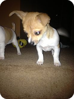 Chihuahua/Terrier (Unknown Type, Small) Mix Puppy for adoption in Crown Point, Indiana - chaz
