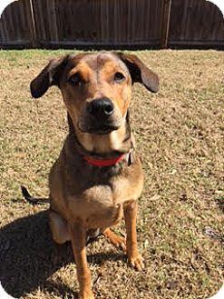 Terrier (Unknown Type, Medium)/Corgi Mix Dog for adoption in Gainesville, Florida - Scarlett