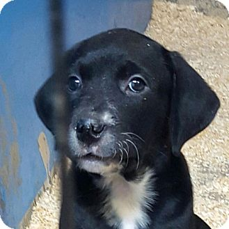 Labrador Retriever Mix Puppy for adoption in Pompton Lakes, New Jersey - ASIA LITTER