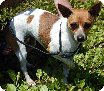 Chihuahua Dog for adoption in Burlington, Vermont - Tammy(9 lb) New Pics & Video