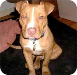 American Pit Bull Terrier Mix Puppy for adoption in Berkeley, California - Winston