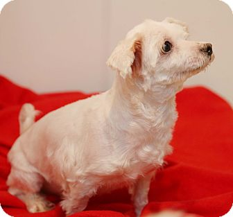 Maltese Dog for adoption in Newtown, Connecticut - Daisy