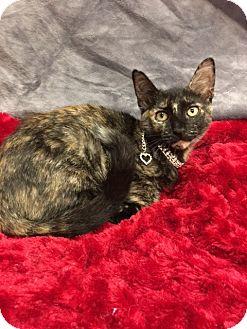 Domestic Shorthair Kitten for adoption in Houston, Texas - Indie