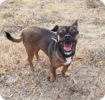 Chihuahua/Pekingese Mix Dog for adoption in Greensboro, Georgia - Charlie Brown