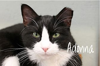 Domestic Shorthair Cat for adoption in Wichita Falls, Texas - Adonna