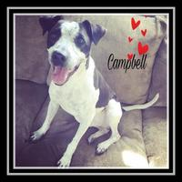 Adopt A Pet :: Campbell - Chattanooga, TN