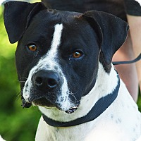 Adopt A Pet :: Chief - Huntley, IL