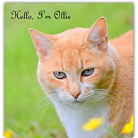 Adopt A Pet :: Ollie - Tumwater, WA