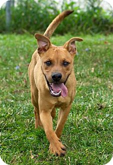 Shepherd (Unknown Type)/Retriever (Unknown Type) Mix Dog for adoption in Troy, Michigan - Pooh Bear