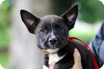 Australian Cattle Dog/French Bulldog Mix Puppy for adoption in Andover, Connecticut - PUPPY BRIDGET