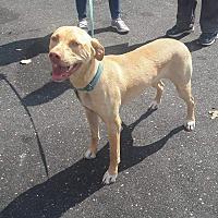 Adopt A Pet :: Penny - Staunton, VA