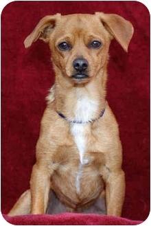 Chihuahua/Pug Mix Dog for adoption in El Segundo, California - Pedro