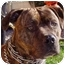 Photo 2 - American Pit Bull Terrier Mix Dog for adoption in Berkeley, California - Dynamite