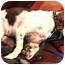 Photo 3 - English Springer Spaniel Mix Dog for adoption in Wooster, Ohio - SATIN