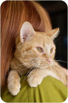 Domestic Shorthair Cat for adoption in Mission Viejo, California - Lux