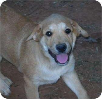 Labrador Retriever/Shar Pei Mix Puppy for adoption in Westport, Connecticut - Lenny