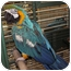 Photo 1 - Macaw for adoption in Edgerton, Wisconsin - Artie