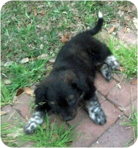 Flat-Coated Retriever/Retriever (Unknown Type) Mix Puppy for adoption in Houston, Texas - Boyd