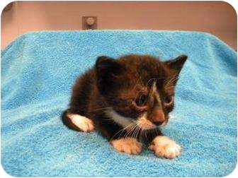 Domestic Shorthair Kitten for adoption in Gainesville, Florida - Tayla
