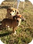 Labrador Retriever/Hound (Unknown Type) Mix Puppy for adoption in East Hartford, Connecticut - Blitzen in CT