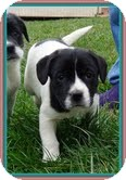 Border Collie/Beagle Mix Puppy for adoption in Brattleboro, Vermont - Oreo