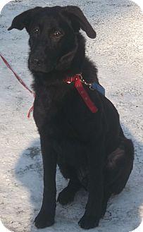 German Shepherd Dog/Labrador Retriever Mix Dog for adoption in Huntsville, Ontario - Buddy - Happy Boy!