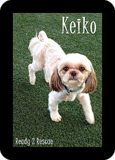 Shih Tzu Dog for adoption in Rockwall, Texas - Keiko