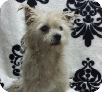 Maltese/Yorkie, Yorkshire Terrier Mix Dog for adoption in St. Petersburg, Florida - Bubba