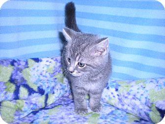 Domestic Mediumhair Kitten for adoption in New Castle, Pennsylvania - Flint