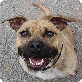 Staffordshire Bull Terrier Mix Dog for adoption in Lyons, New York - Teeny