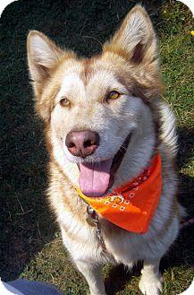 Alaskan Malamute/Siberian Husky Mix Dog for adoption in Portland, Oregon - Lady