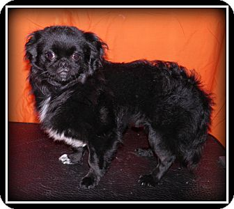 Japanese Chin Mix Dog for adoption in Indian Trail, North Carolina - Colby