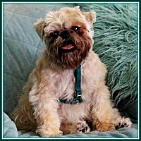 Brussels Griffon Dog for adoption in Seymour, Missouri - O'REILLY in Surprise, AZ.
