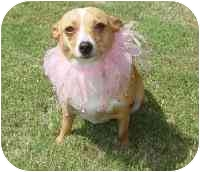 Chihuahua/Dachshund Mix Dog for adoption in Carrollton, Texas - Ginger