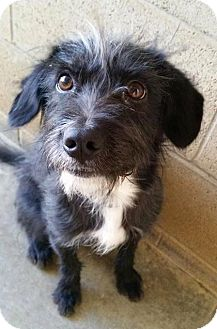 Terrier (Unknown Type, Medium) Mix Dog for adoption in Edwards AFB, California - Bradley