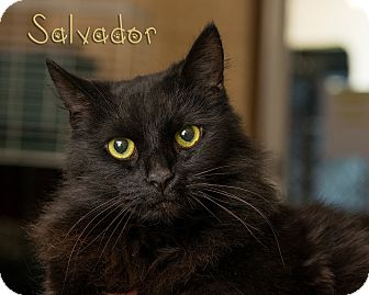 Domestic Longhair Cat for adoption in Somerset, Pennsylvania - Salvadore