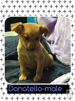 Beagle/Feist Mix Puppy for adoption in Windham, New Hampshire - Donatello (Pom)