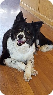 Border Collie Dog for adoption in Mount Gilead, Ohio - Gypsy